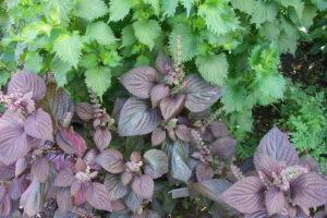 Grüner Und Purpurner Shiso Im Garten Anbauen