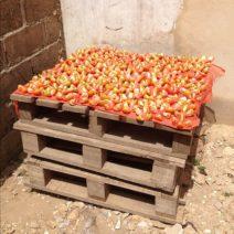 Trocknung Von Tomaten An Der Frischen Luft