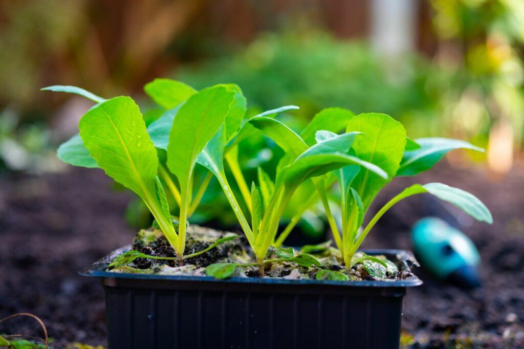 Junge Pflanzen in einem Pflanzgefäß