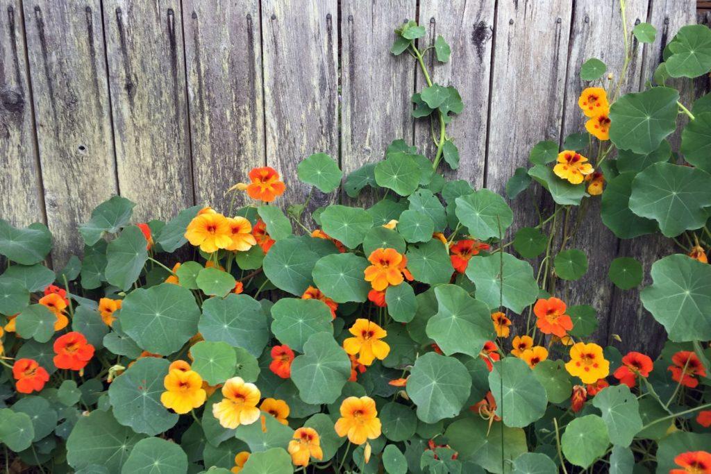 Kapuzinerkresse mit orangen Blüten