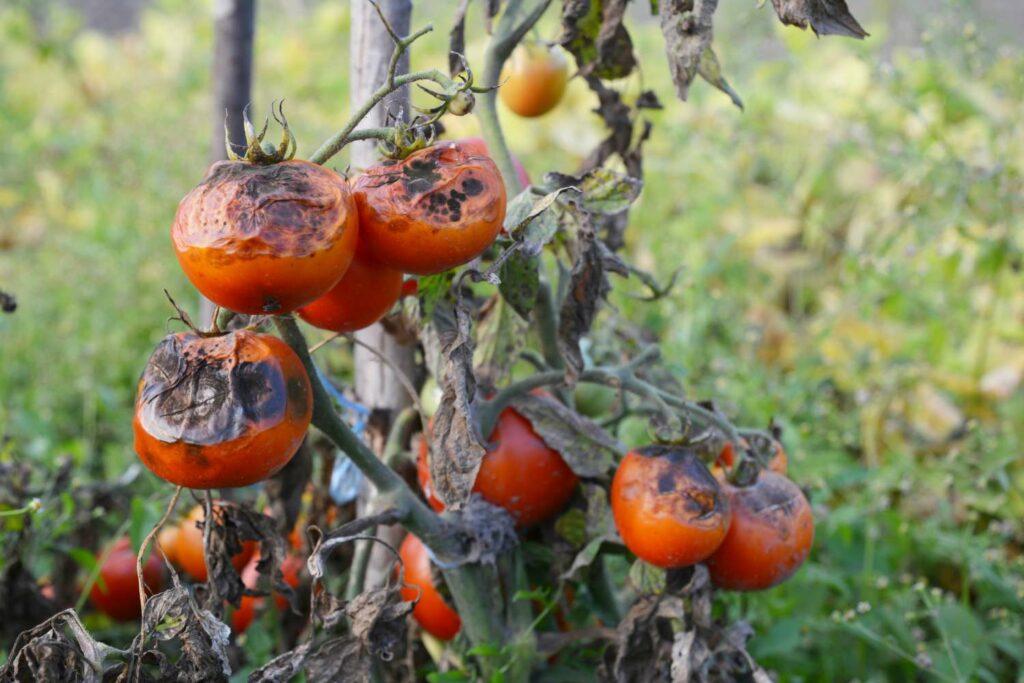 Krautfäule an Tomaten