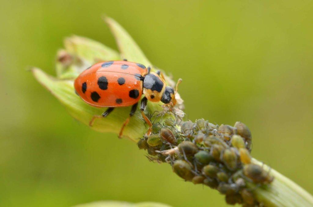 Marienkäfer frisst Blattläuse auf einer Pflanze