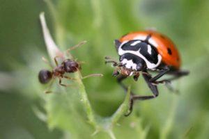 Marienkäfer Und Ameise Auf Einer Pflanze