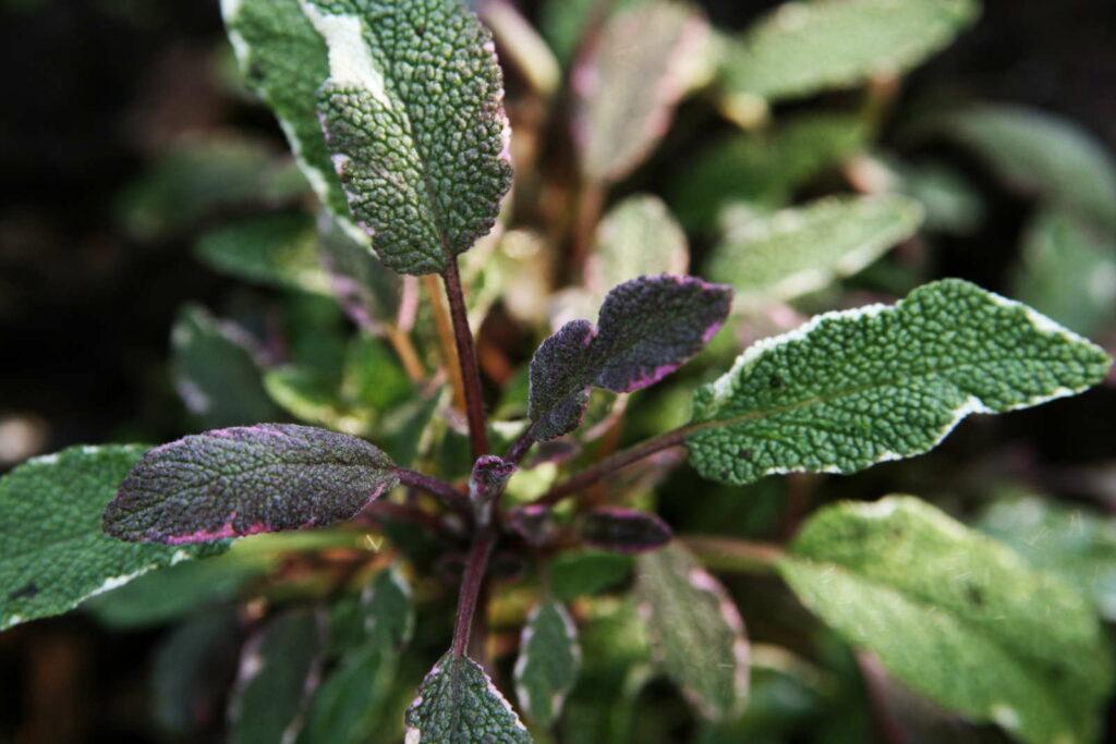 mehrfarbige und panaschierte Salbeisorte Tricolor