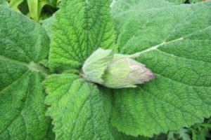 Grüne Blätter Des Muskatellersalbei