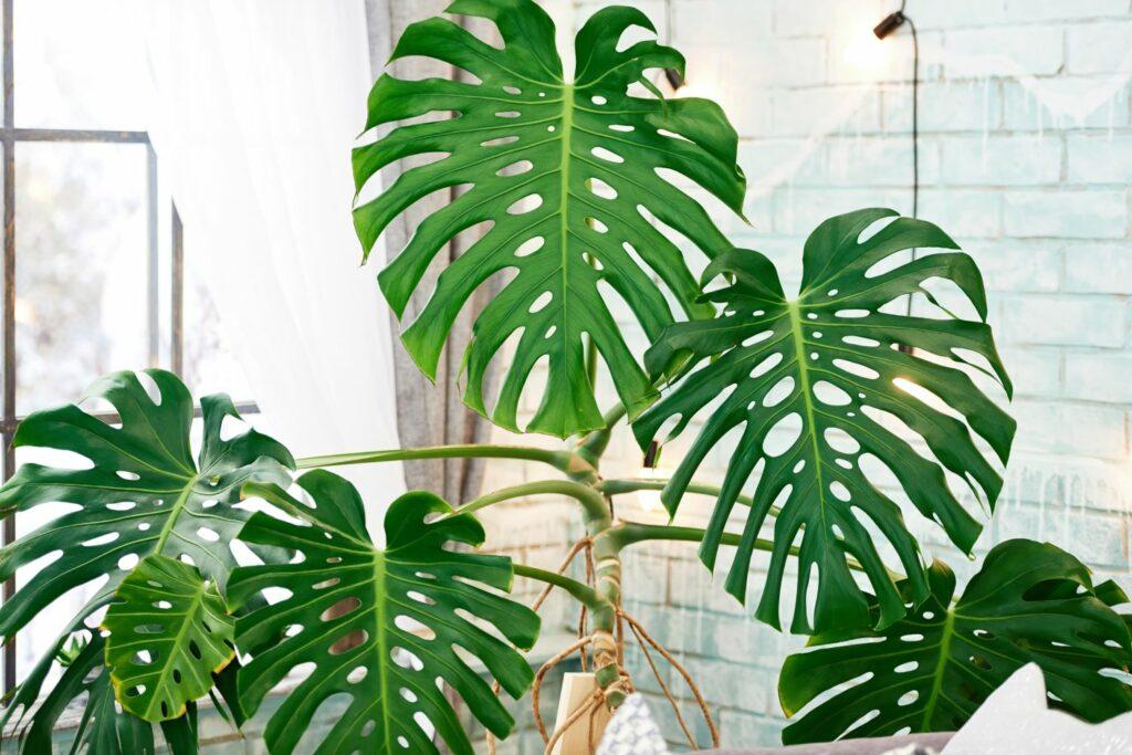 Philodendron als Zimmerpflanze