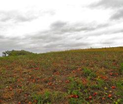 Tomatenanbau Im Freiland Mit Reifen Tomatenfrüchten