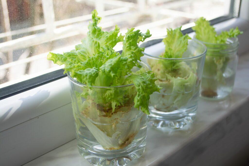 Salat-Nachwachsen in Glas