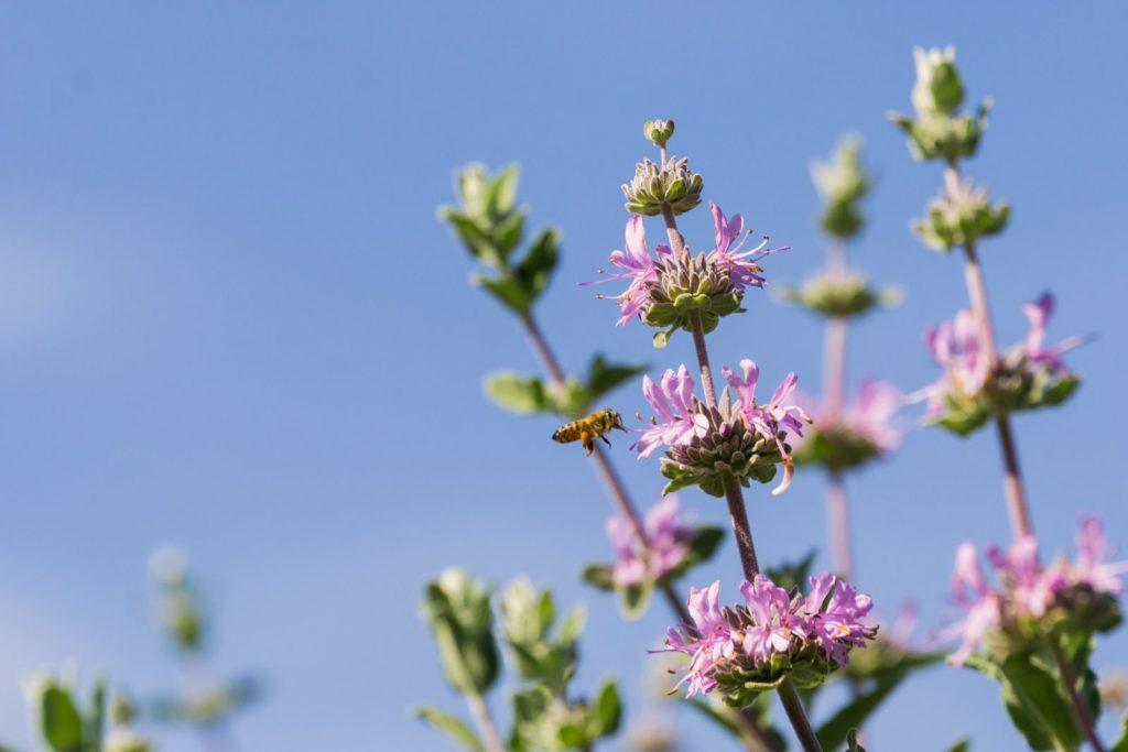 Salbei Cleveland mit Blüten und Biene
