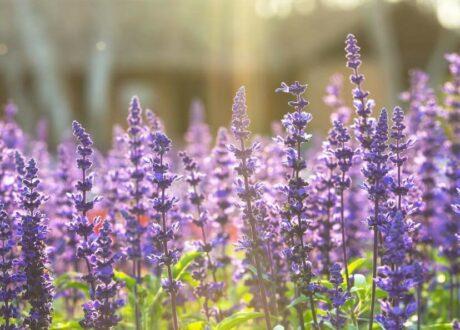 Blühende Salbeipflanzen