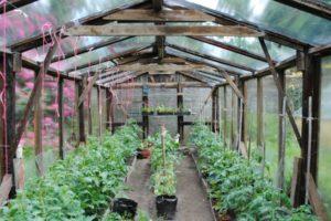 Selbst-gebautes Gewächshaus Für Tomaten