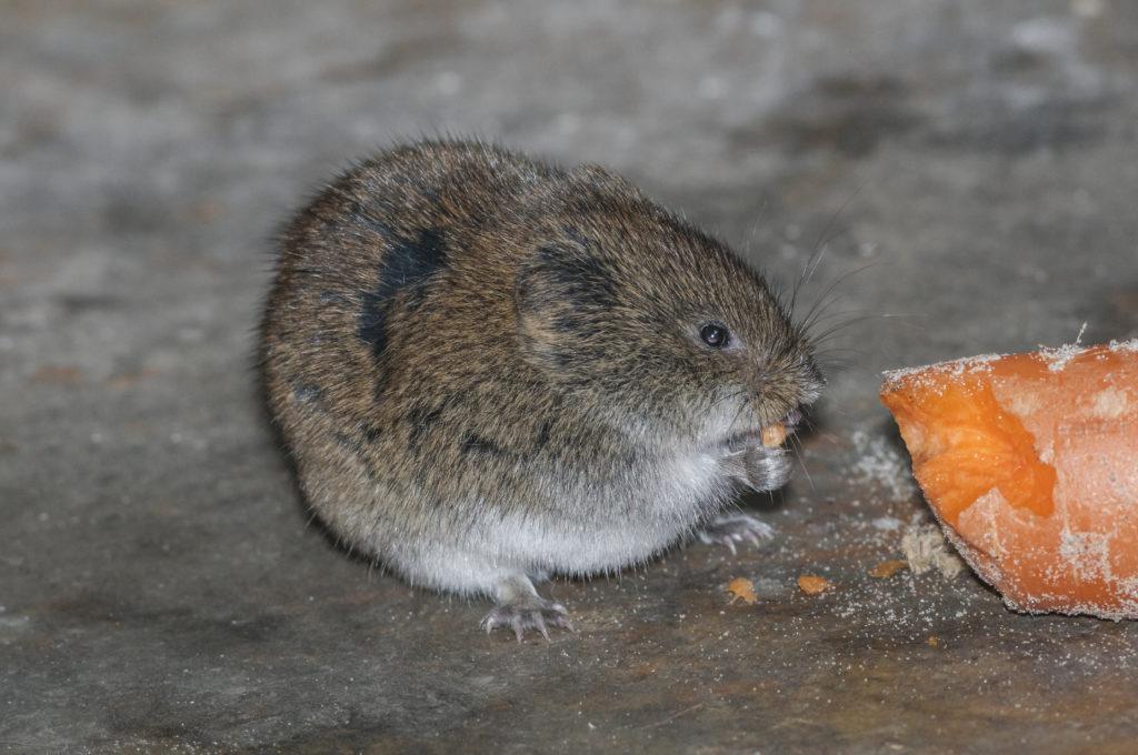 Wühlmaus mit Karotte von Nahem