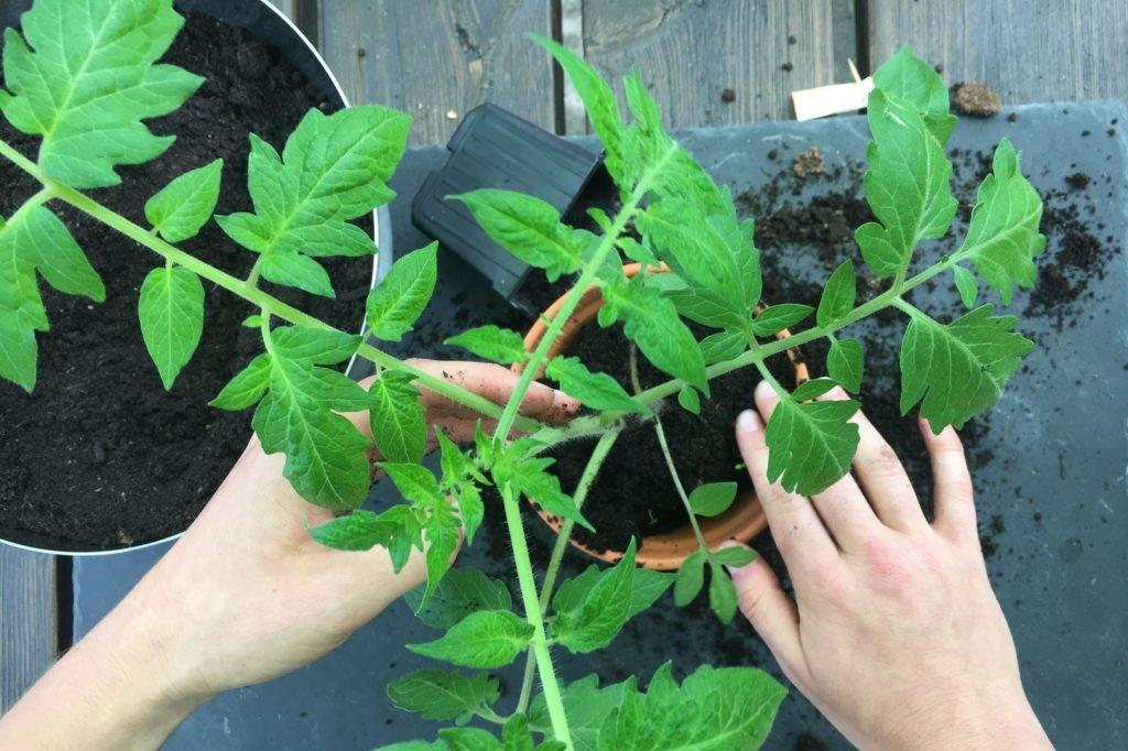 Tomaten-Pflanze wird umgepflanzt