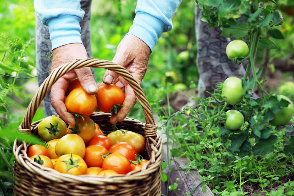 Ernten von Tomaten im Garten