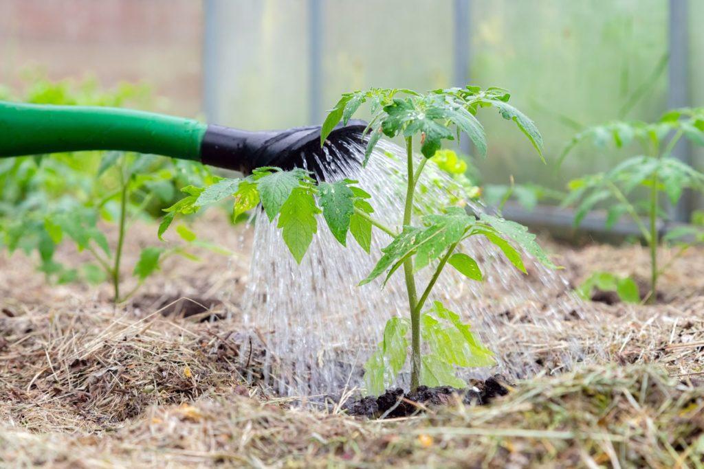 Tomaten werden mit einer Gießkanne gegossen