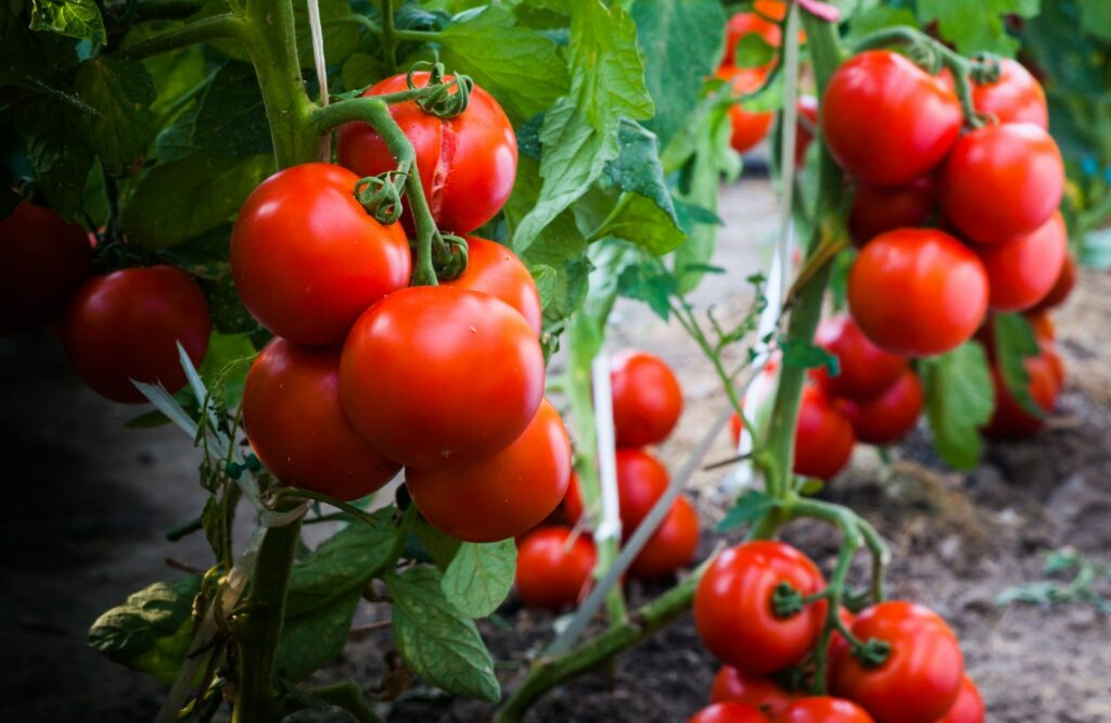 Tomaten in einem Beet