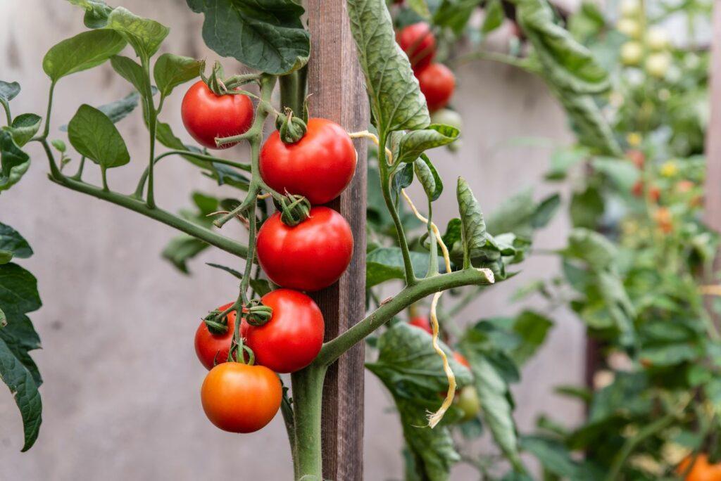 Tomaten wachsen an einer Holz-Stütze