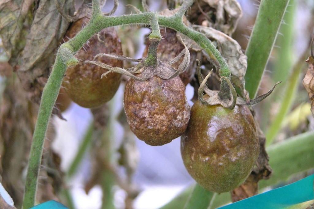 Grüne, mit Kraut-und Braunfäule befallene Tomaten