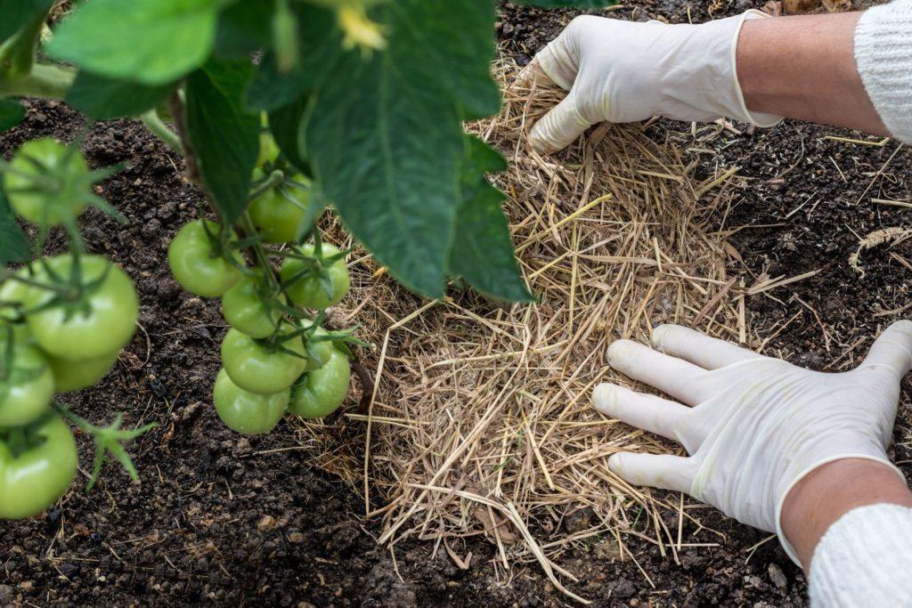 Mulchschicht aus Stroh wird um Tomatenpflanze verteilt
