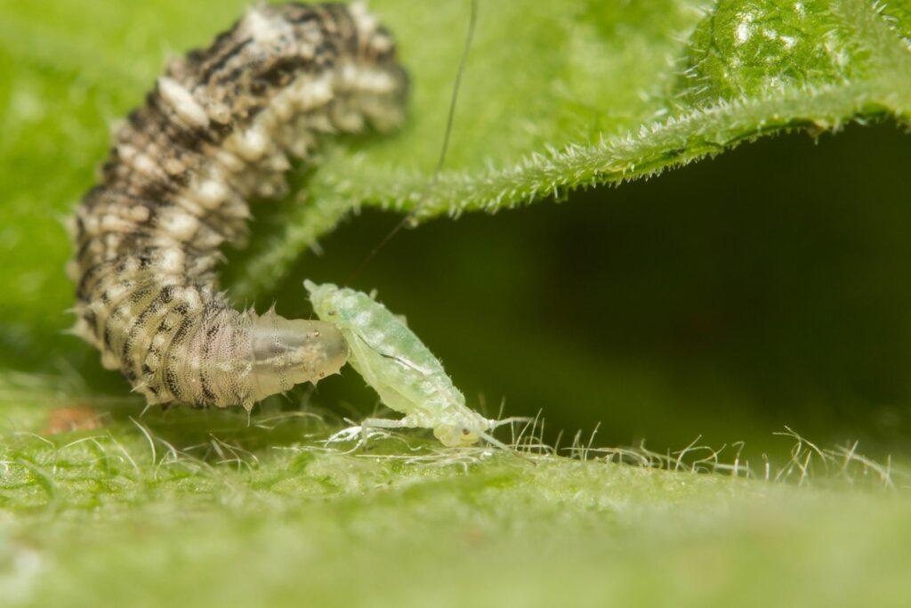Schwebfliegenlarve auf einem Blatt