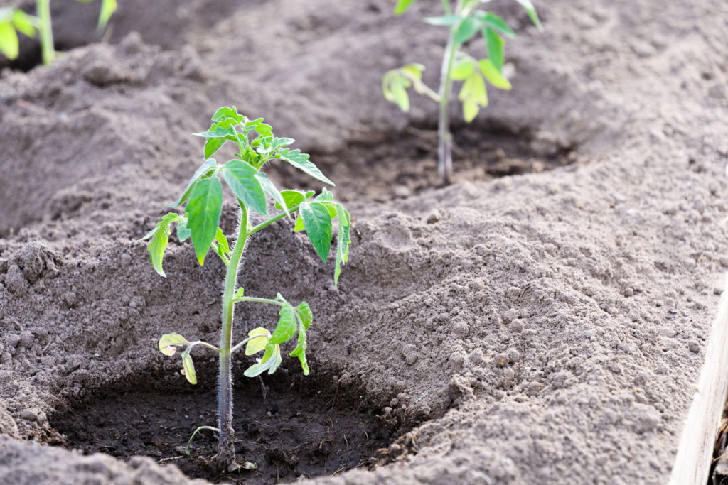 Junge Tomatenpflanzen in einem Beet