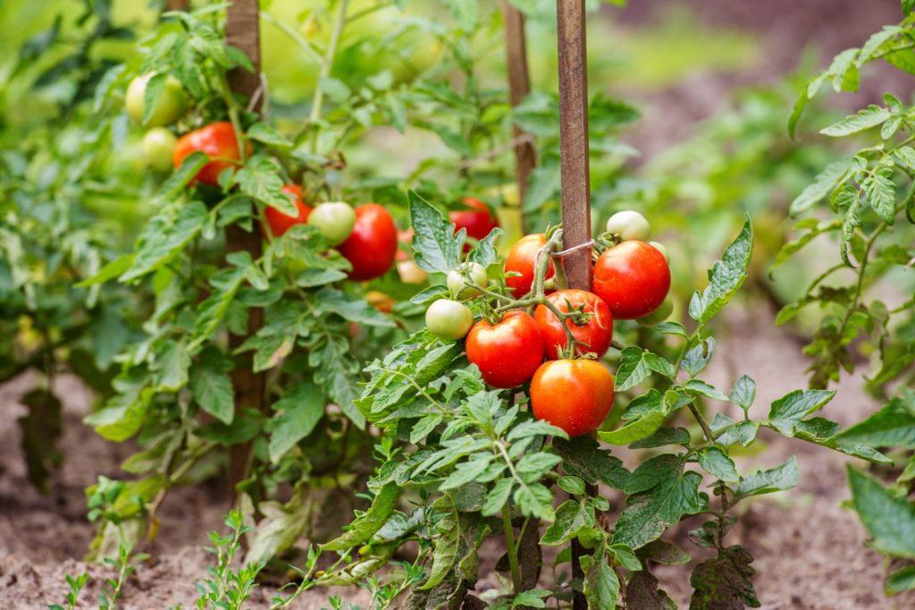 Reife Tomaten an einer Tomatenpflanze mit Stütze