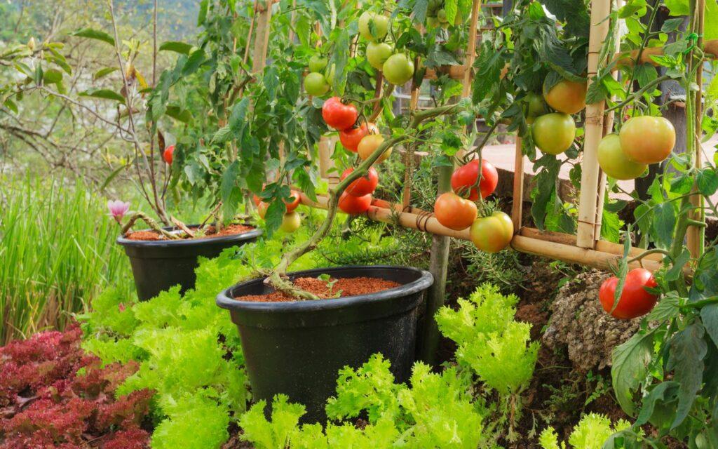 Tomatenanbau in Mischkultur