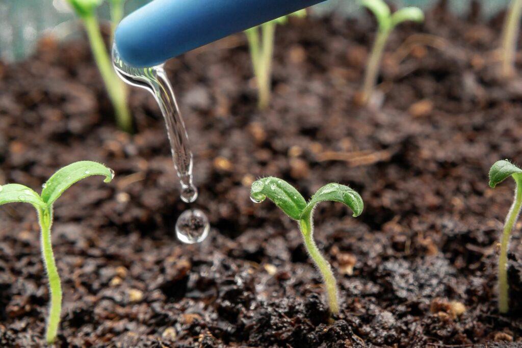 Tomatenpflanzen gießen