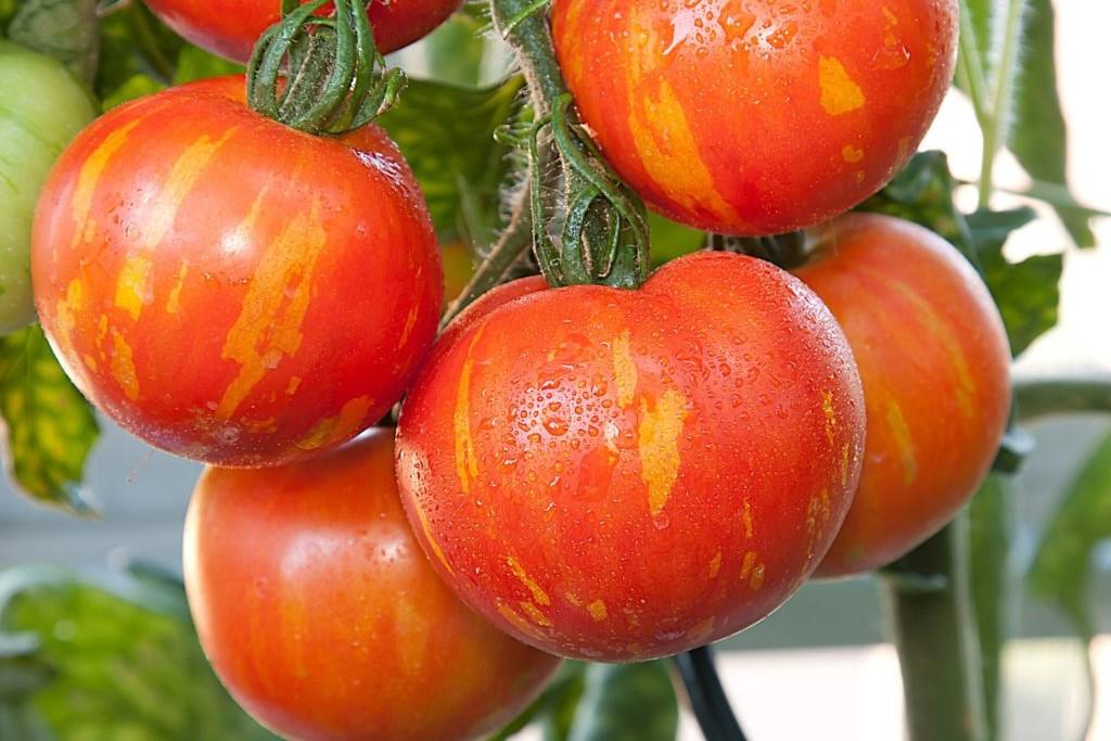 Tomatensorte 'Red Zebra'