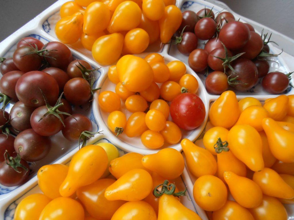 Ernte von verschiedenen Tomatensorten aus dem eigenen Garten
