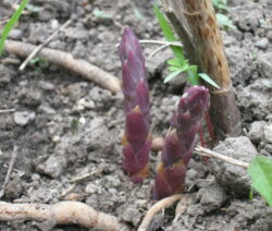 violetter Spargel Nahaufnahme