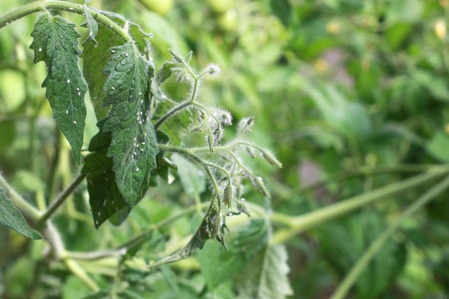 Weiße Fliegen an Tomate