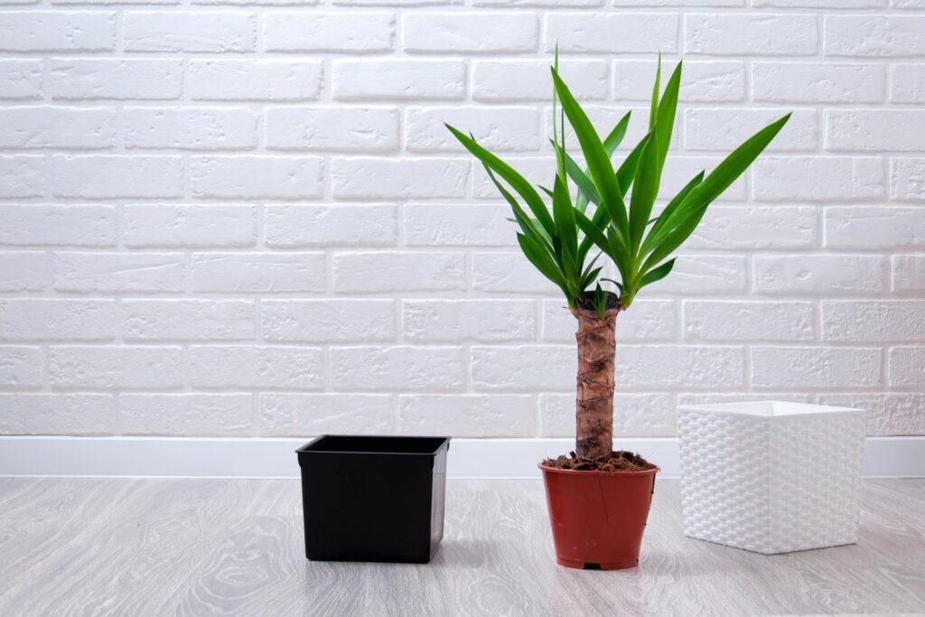 Yucca als Zimmerpflanze