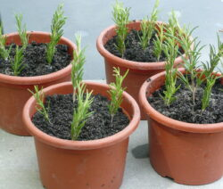 Rosmarin Vermehren über Stecklinge