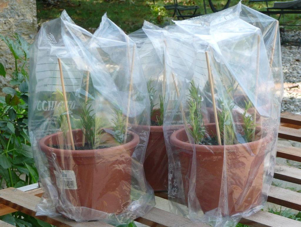 rosmarin schnell und einfach selbst vermehren plantura. Black Bedroom Furniture Sets. Home Design Ideas