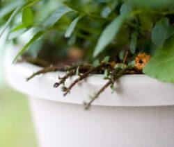 Ableger Von Pfefferminze Auspflanzen