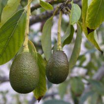 Avocado Früchte Am Baum