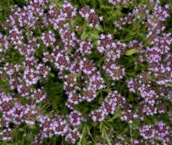 Blütenmeer Thymian