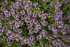 Thymian Blüte Lila Blütenmeer