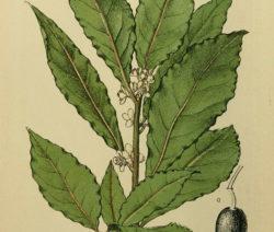 Botanik Echter Lorbeer