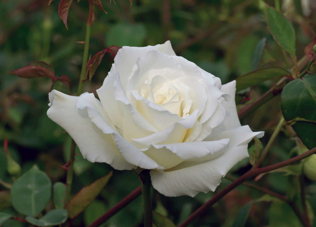 Climbing Mrs Herbert Stevens morbide Rose