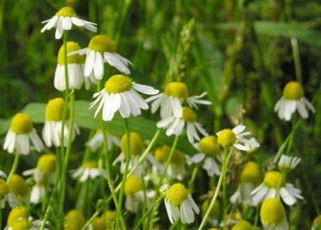 Echte Kamille Blüte Im Garten