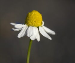 Einzelblüte echte Kamille