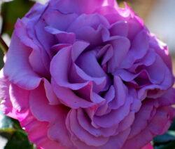Hybrid Tea Rose Neptune