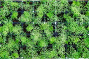 Jungpflanzen Dill Im Topf Anpflanzen