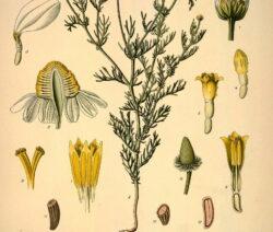 Botanik Kamille Schematisch