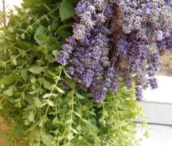 Kräuterbund Mit Lavendel Zitronenmelisse