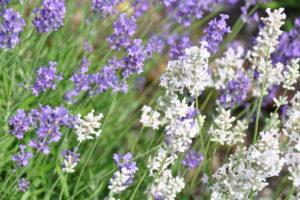 Lavendel Blüten Weiß Lila Farbvielfalt Im Garten