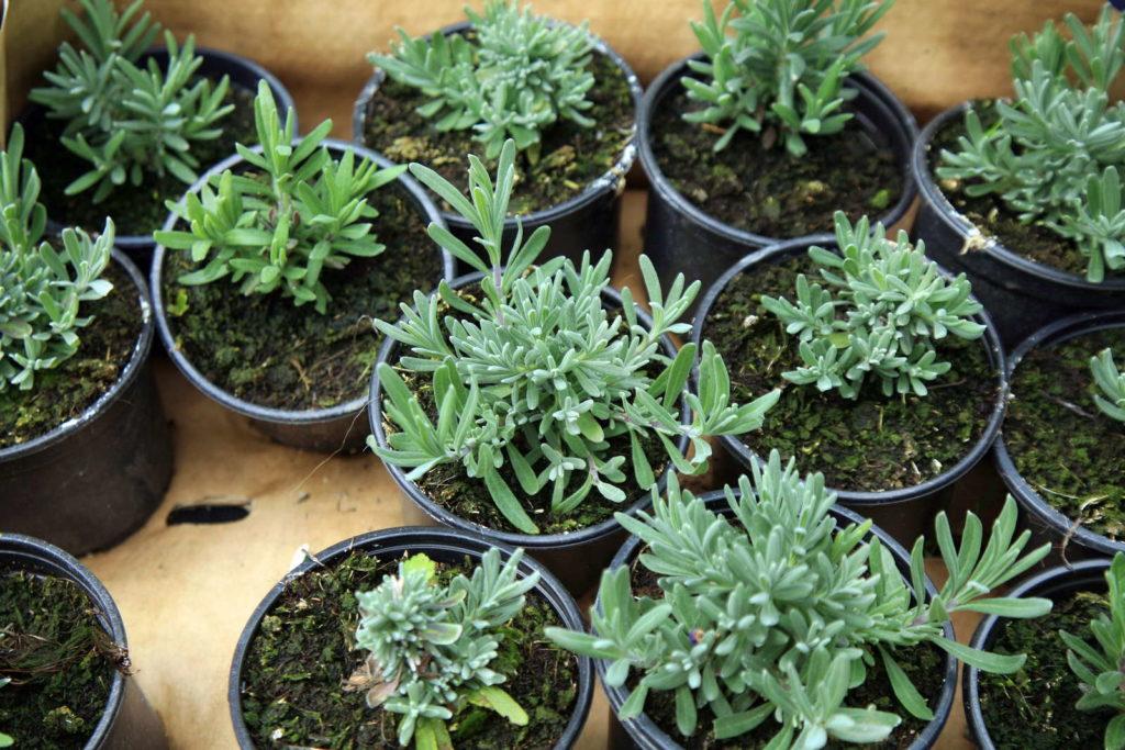 Lavendel Stecklinge Vermehrung