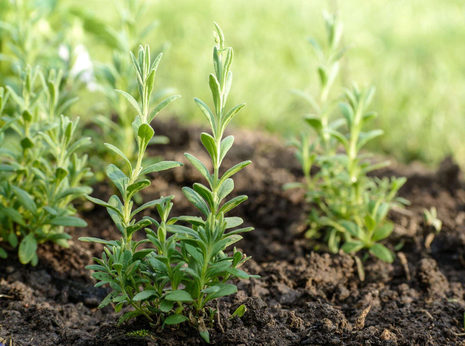 Lavendel Vermehren Durch Samen